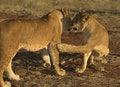 Free Africa Lion (Panthera Leo) Royalty Free Stock Photo - 948425