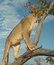 Free Africa Lion (Panthera Leo) Stock Photos - 948883