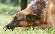 Free German Shepherd In The Grass Royalty Free Stock Image - 941686