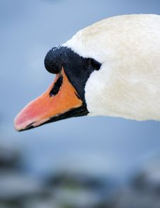 Free Swan Royalty Free Stock Images - 941739