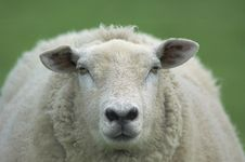 Free Sheep In Summer Stock Images - 941754