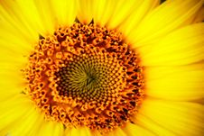 Free Gothic Sunflower Royalty Free Stock Photos - 942908
