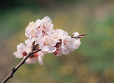 Free Flowers On Branch Royalty Free Stock Photo - 943445