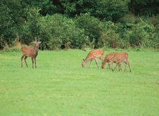Free Deers On Grass Royalty Free Stock Image - 943466