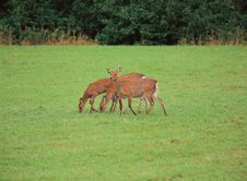 Grass With Deer Royalty Free Stock Images