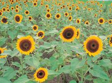 Free Sunflowers On Ground Stock Photo - 943490