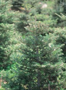 Free Pinetrees In Forest Stock Photography - 943582