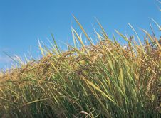 Free Riceplants With Sky Stock Photo - 943600