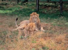 Free Lion On Grass Royalty Free Stock Photography - 943697