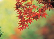 Free Maple And Cane Stock Image - 943811