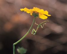 Free Mantis And Flower Royalty Free Stock Photo - 943885