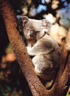 Free Koala With Tree Stock Photography - 943992