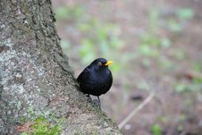 Free Blackbird On A Trunk Stock Photos - 944433