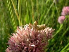 Free Grasshoppers On A Flower Stock Photos - 944573