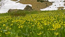 Glacier Lilies And Rock Stock Image
