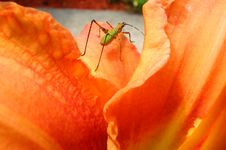 Free Grasshopper Stock Image - 945291