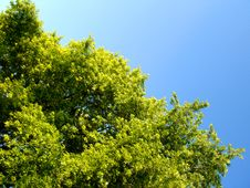 Free Trees With Blue Sky Royalty Free Stock Photos - 945688