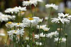 Free A Field Of White Daisies Royalty Free Stock Photography - 945757