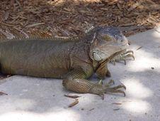 Free Iguana  In The Tropics Royalty Free Stock Image - 945976