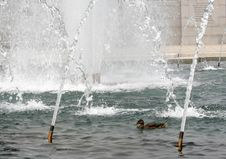 Ducks At WWII Memorial Stock Photography