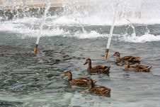Free Ducks At WWII Royalty Free Stock Photography - 946457