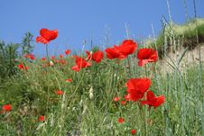 Free Poppies In Sunshine 3-color Royalty Free Stock Images - 947219