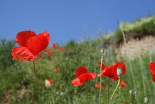 Free Poppies In Sunshine 3-color Royalty Free Stock Photography - 947227