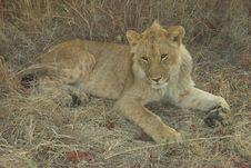 Free Africa Lion (Panthera Leo) Stock Photography - 947562