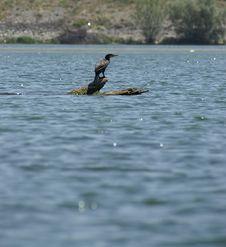 Free Cormorant Stock Photos - 947773