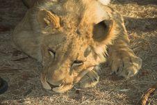 Free Africa Lion (Panthera Leo) Stock Images - 947794