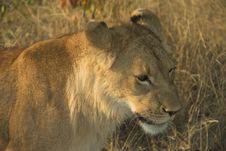 Free Africa Lion (Panthera Leo) Royalty Free Stock Photography - 947917