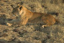 Free Africa Lion (Panthera Leo) Stock Images - 947994