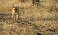 Free Africa Lion (Panthera Leo) Stock Photo - 948380