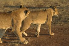 Free Africa Lion (Panthera Leo) Royalty Free Stock Images - 948459