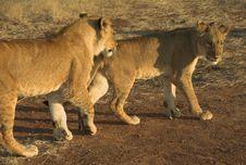 Free Africa Lion (Panthera Leo) Stock Images - 948494