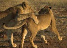 Free Africa Lion (Panthera Leo) Stock Images - 948514