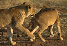 Free Africa Lion (Panthera Leo) Royalty Free Stock Photography - 948547