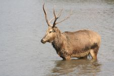 Free Reindeer In The Water Stock Image - 948571