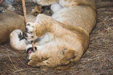 Free Africa Lion (Panthera Leo) Stock Photography - 948682