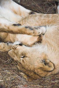Free Africa Lion (Panthera Leo) Stock Image - 948721
