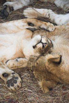 Free Africa Lion (Panthera Leo) Stock Images - 948774