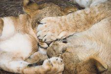 Free Africa Lion (Panthera Leo) Royalty Free Stock Images - 948799