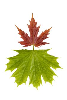 Free Maple Leaves Royalty Free Stock Photos - 949018