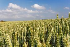 Free Wheatfield Royalty Free Stock Images - 949359