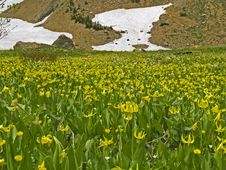 Meadow Of Glacier Lilies Royalty Free Stock Photos