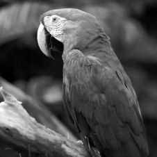 Parrot In Black And White Stock Photos