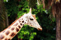 Free Giraffe Royalty Free Stock Images - 9402249