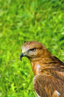 Free Hawk Stock Photo - 9400050