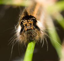 Free Shaggy Caterpillar (portrait) Stock Image - 9400441