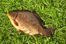 Free Gold Crucian On The Green Grass Royalty Free Stock Image - 9400996